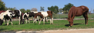 Nightstar Ranch horses grazing-Nov.2006-2